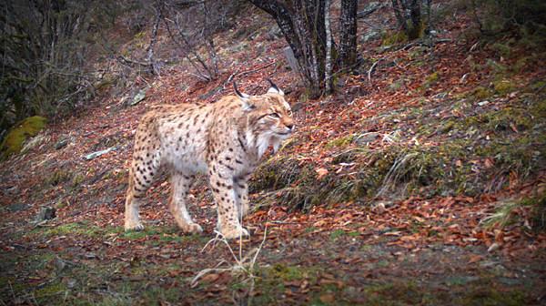 Lynx - photo credit Balkan Lynx Recovery Programme